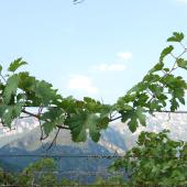 Confraternita-della-vite-vino-Enantio-01