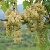 Confraternita-della-vite-vino-Nosiola-01