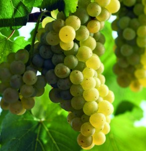 vino-Chardonnay