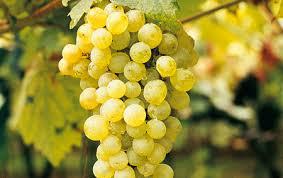vino-Pinot Bianco