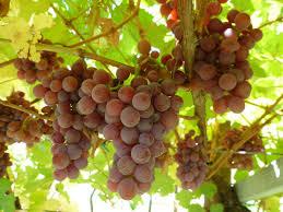 vino-Traminer Aromatico