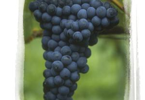 vino--teroldego