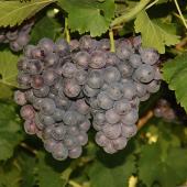 Confraternita-della-vite-vino-Schiava-04