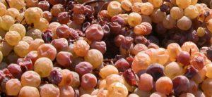 confraternita della vite e del vino trentino